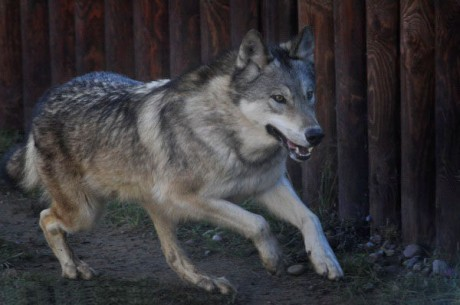 Волк   BR  Минский зоопарк