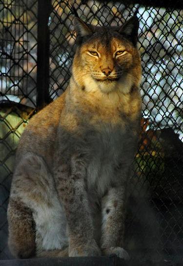 Рысь   BR  Минский зоопарк