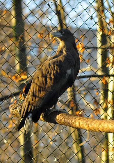 орел   BR  Минский зоопарк