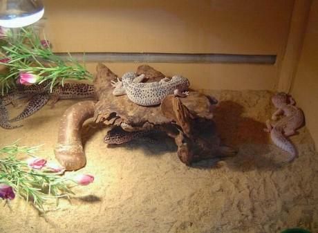 ящерицы   BR  Минский зоопарк