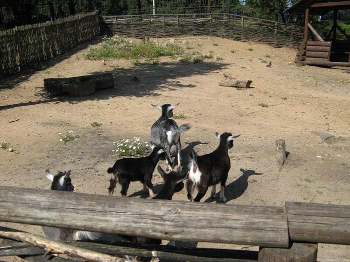 стадо козлов   BR  Минский зоопарк
