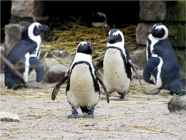 пингвины   BR  Минский зоопарк