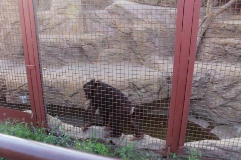 Обезьяна  в  Минском Зоопарке  27 августа 2016  г. Минск  улица Ташкентская  40