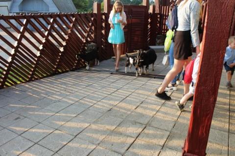 Козы  в  Минском Зоопарке  27 августа 2016  г. Минск  улица Ташкентская  40