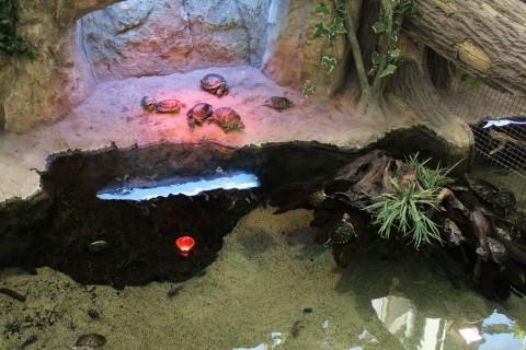 Черепахи  в  Экзотариуме  в Минском Зоопарке  27 августа 2016   г. Минск  улица Ташкентская  40