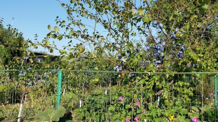 Деревья возле столовой  базы отдыха  Рось  Затока  Одесская область  Украина  12 августа 2016