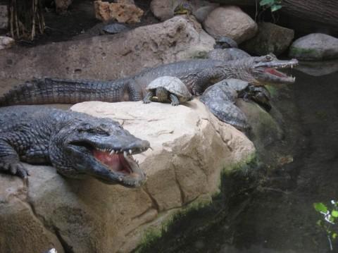 Крокодилы в зоопарке  Parque Zoologico de Barcelona   BR г. Барселона  Испания