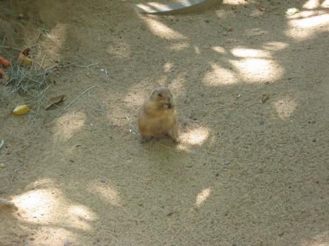 Суслик в зоопарке  Parque Zoologico de Barcelona   BR г. Барселона  Испания