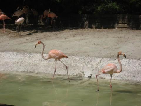 Фламинго в зоопарке  Parque Zoologico de Barcelona   BR г. Барселона  Испания