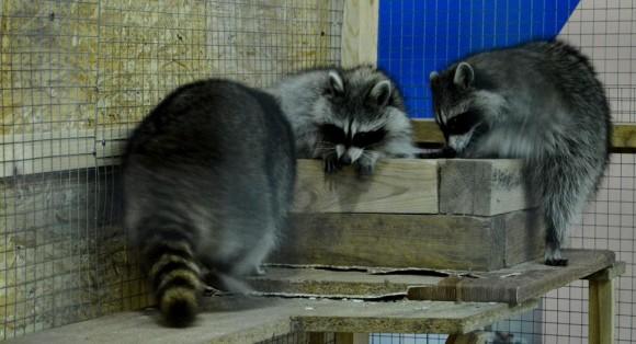 Контактный зоопарк  Страна Енотия    г. Брест  Беларусь