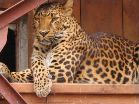 Леопард   BR  Минский зоопарк