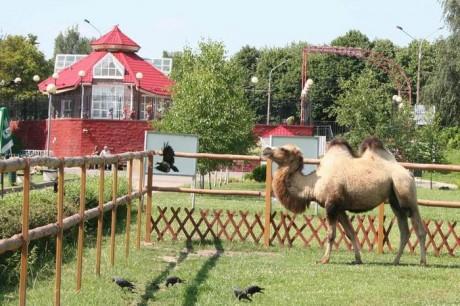 верблюд   BR  Минский зоопарк