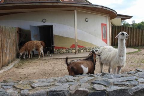 Ламы  козлы  в  Минском Зоопарке  27 августа 2016  г. Минск  улица Ташкентская  40