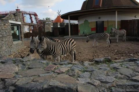 Зебры  в  Минском Зоопарке  27 августа 2016  г. Минск  улица Ташкентская  40